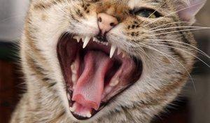 Agressieve kat