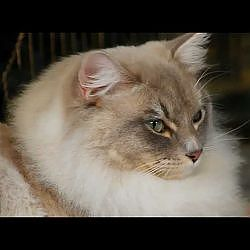 Ragdoll Cats - YouTube