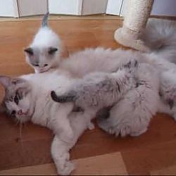 Ragdoll kittens - YouTube