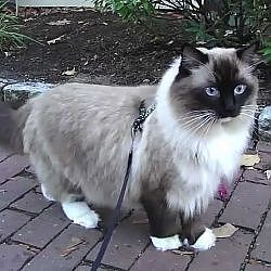 Ugo Chan Ragdoll Cat walking on leash - YouTube
