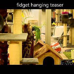 Bengaal Benji vs Fidget Hanging Teaser