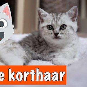 BRITSE KORTHAAR KITTENS!   DierenpraatTV